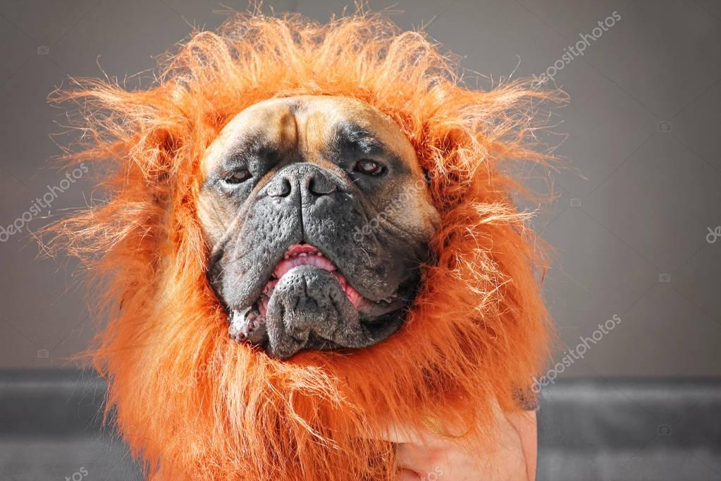 a large bull mastiff boxer in a lion costume toned with a retro