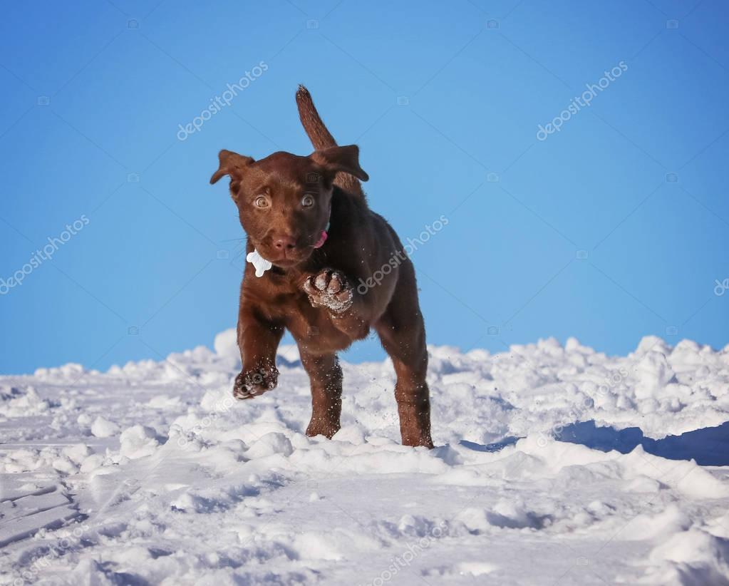 a cute chocolate lab puppy playing in the snow on a clear sunny