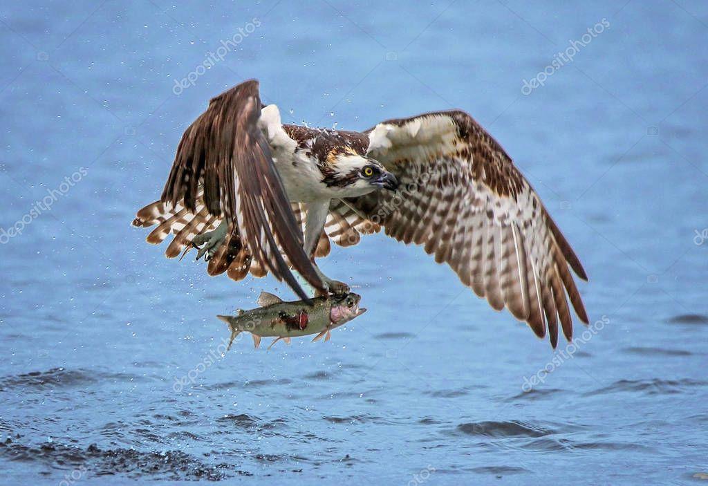 osprey hunts fish