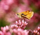 společný kapitán motýl usrkávání nektar z divoký květ