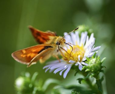 a common skipper butterfly sipping nectar from a tiny flower