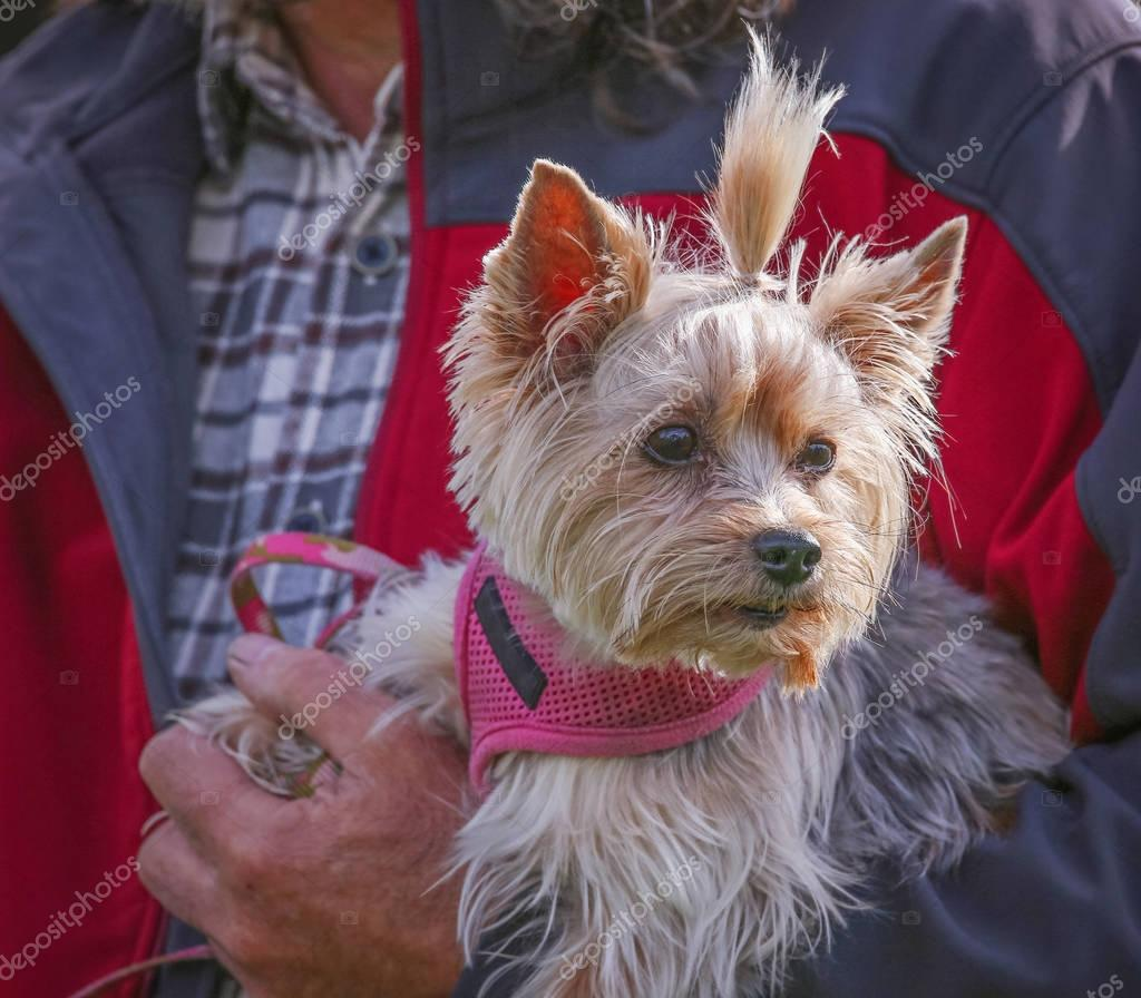 a cute yorkie dressed in a bow and pink harness enjoying the out