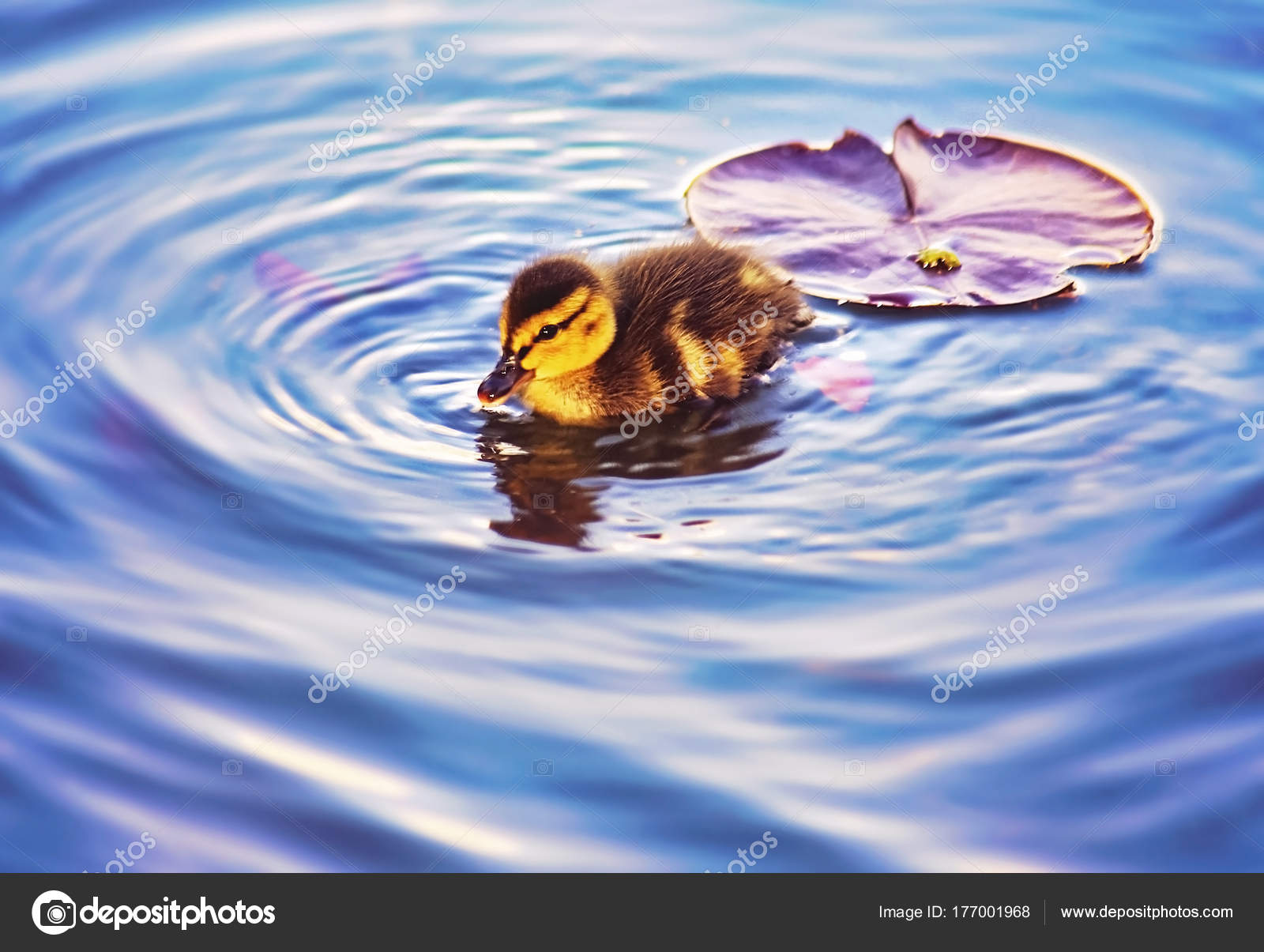 baby duckling swimming in a pond at a local park with a lily pad ...