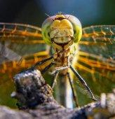 schöne und bunte Libelle in einer natürlichen Umgebung