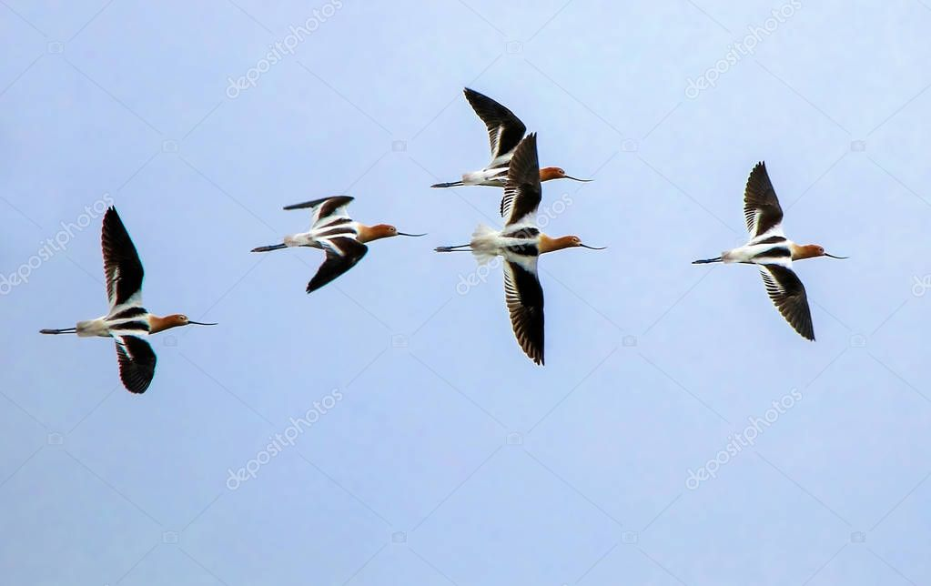 a flock of american avocets flying across a clear blue sky on a