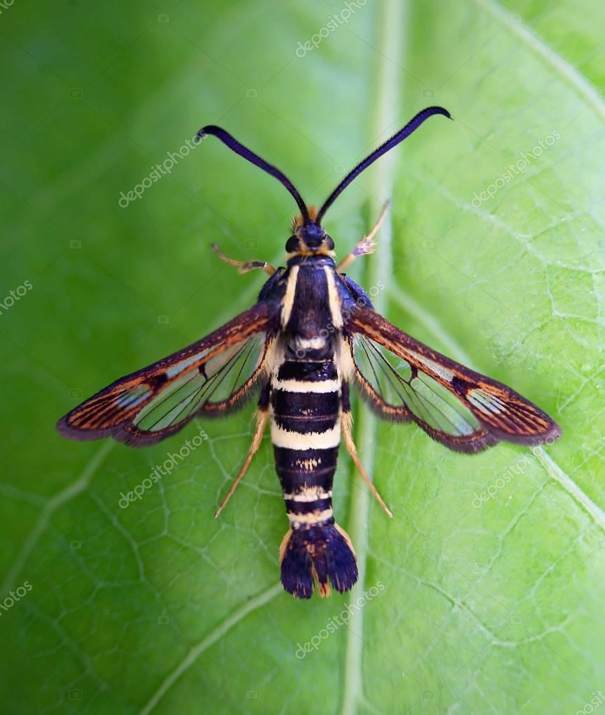 sesiidae moth sitting on a leaf, also called a clear wing moth