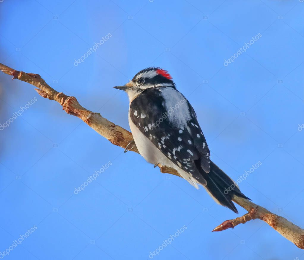 beautiful and colorful downy woodpecker in a natural setting env