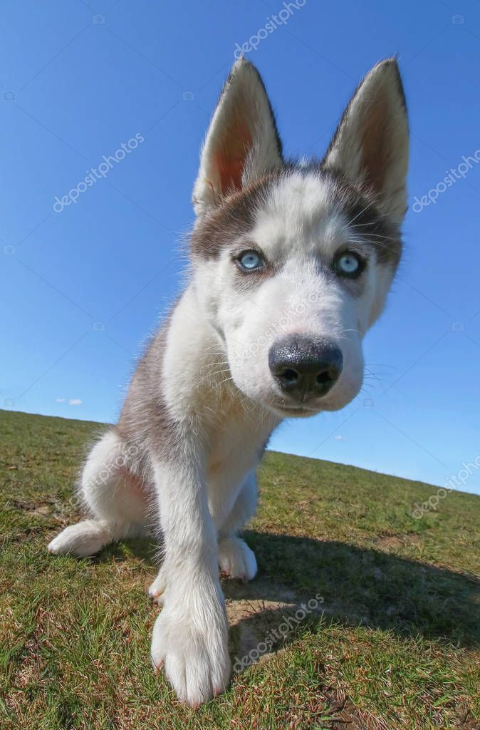 adorable husky puppy playing on a grassy hill with a perfect blu