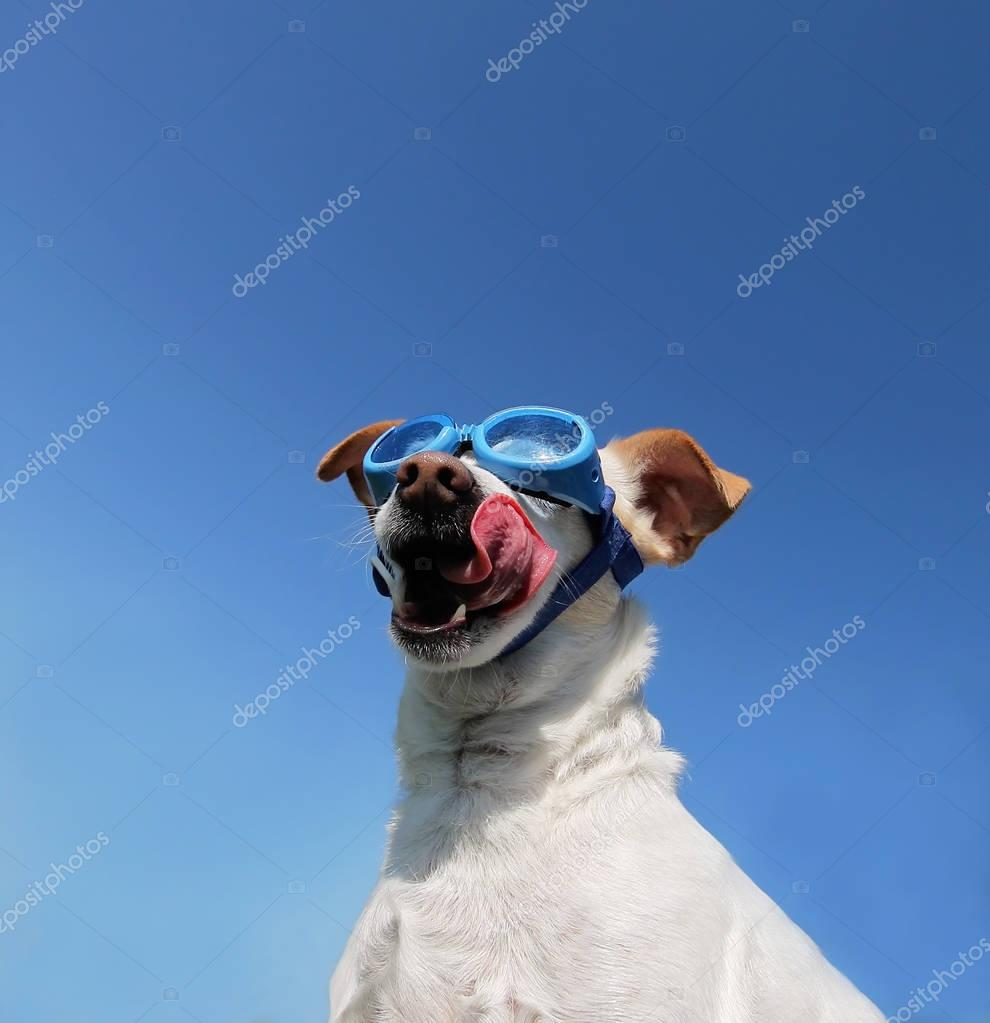 cute white chihuahua with goggles on enjoying a warm summer day