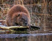Photo beaver in a river gnawing on a branch