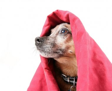 chihuahua mix dog under a red blanket