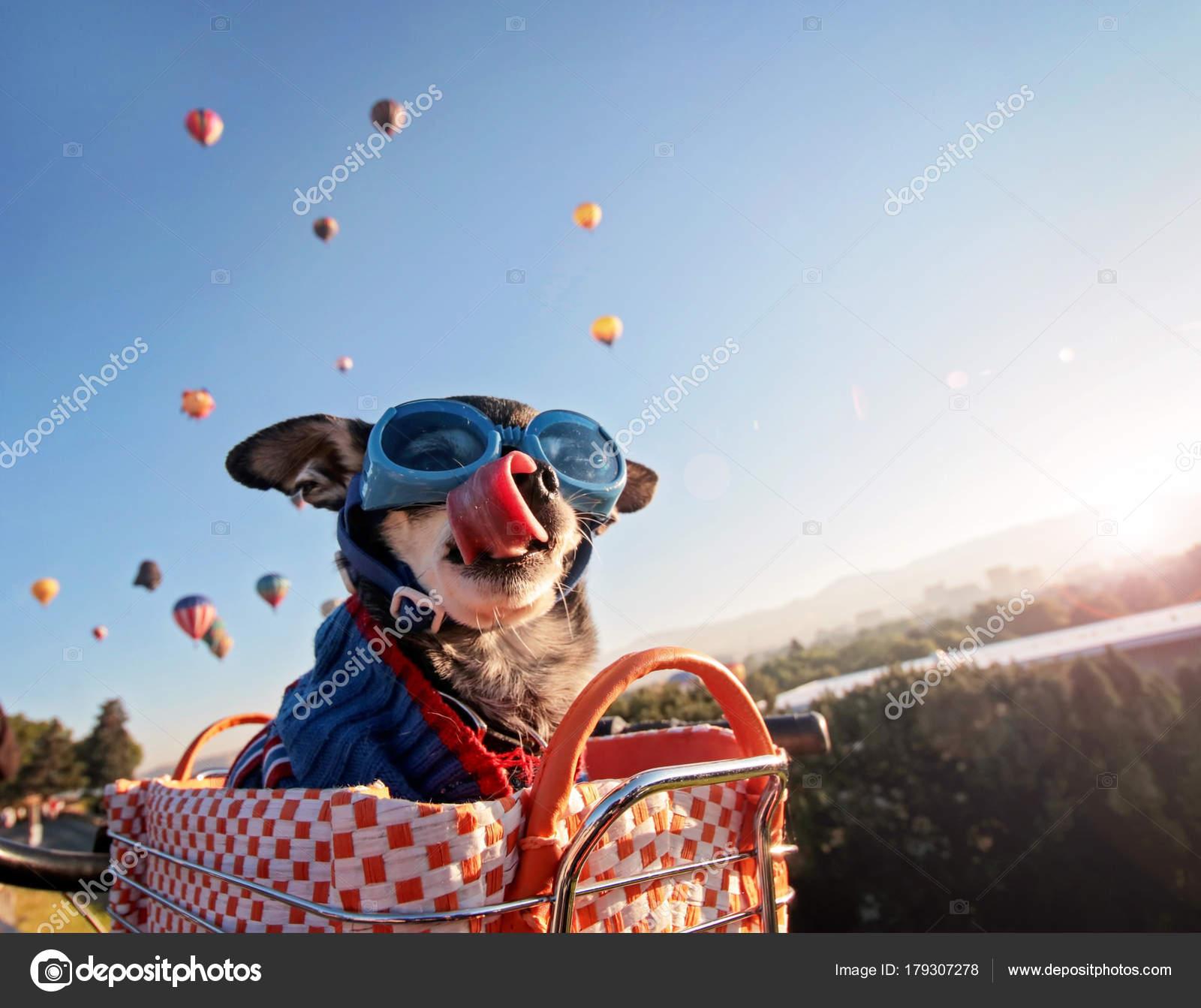 89c68010c1 Adorable chihuahua dans un panier de vélo à un festival de lancement  montgolfières au lever du soleil léchant le nez et vêtu d'un pull et  lunettes de ...