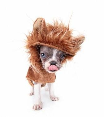 french bulldog puppy in a lion costume