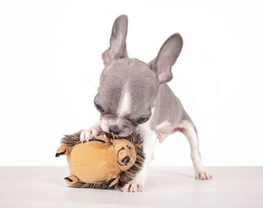 french bulldog puppy playing with his toy
