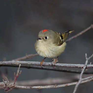 single ruby crowned kinglet perched on a branch with the red patch showing on its head on an overcast day