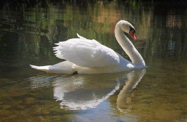 beautiful swan swimming in water