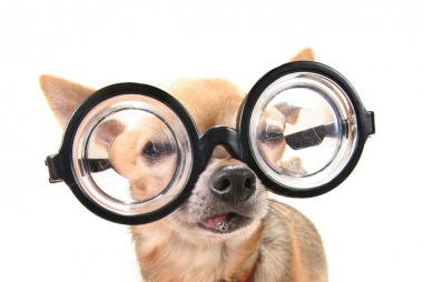 cute chihuahua with giant glasses on