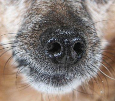 chihuahua mix dog's nose up close