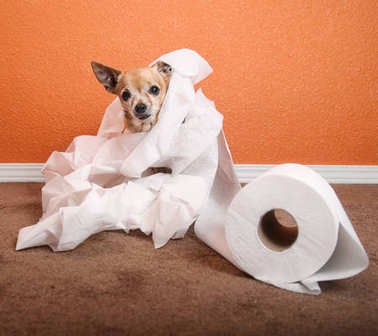 cute chihuahua playing in a roll of toilet paper