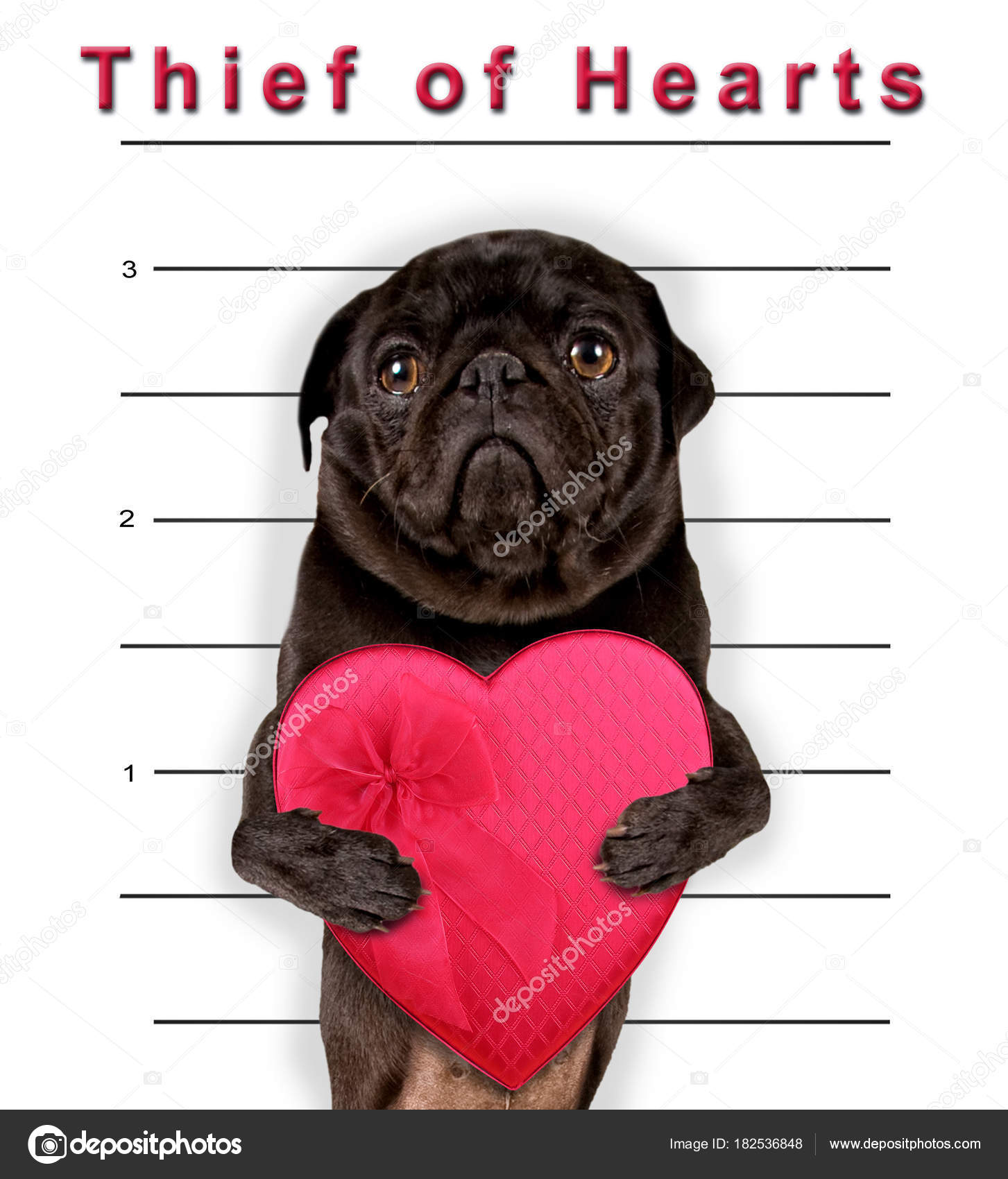 Cute pug holding a heart shaped box of chocolate candy on a