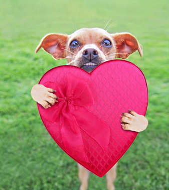 cute chihuahua mix holding up a heart shaped candy box and enjoying the outdoors on a summer day
