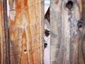 triste di fronte chihuahua Cerca tra due tavole di un recinto di legno
