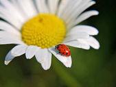 Fotografia uno scarabeo di coccinella o coccinella su un fiore della margherita bianca in un parco locale