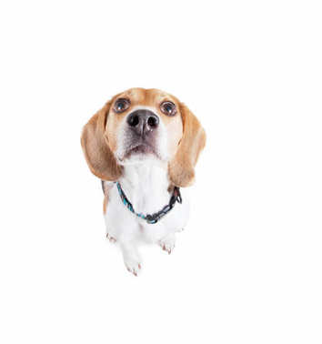 cute beagle wearing a red collar looking up studio shot isolated on a white background