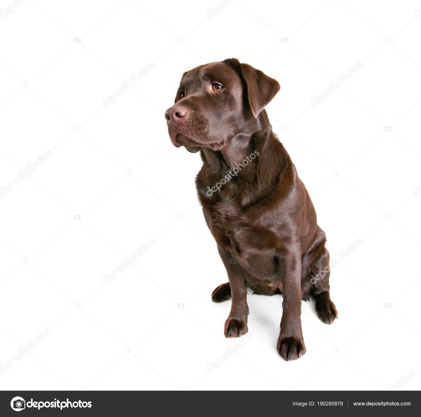 Beautiful Chocolate Lab Sitting On An Isolated White Background