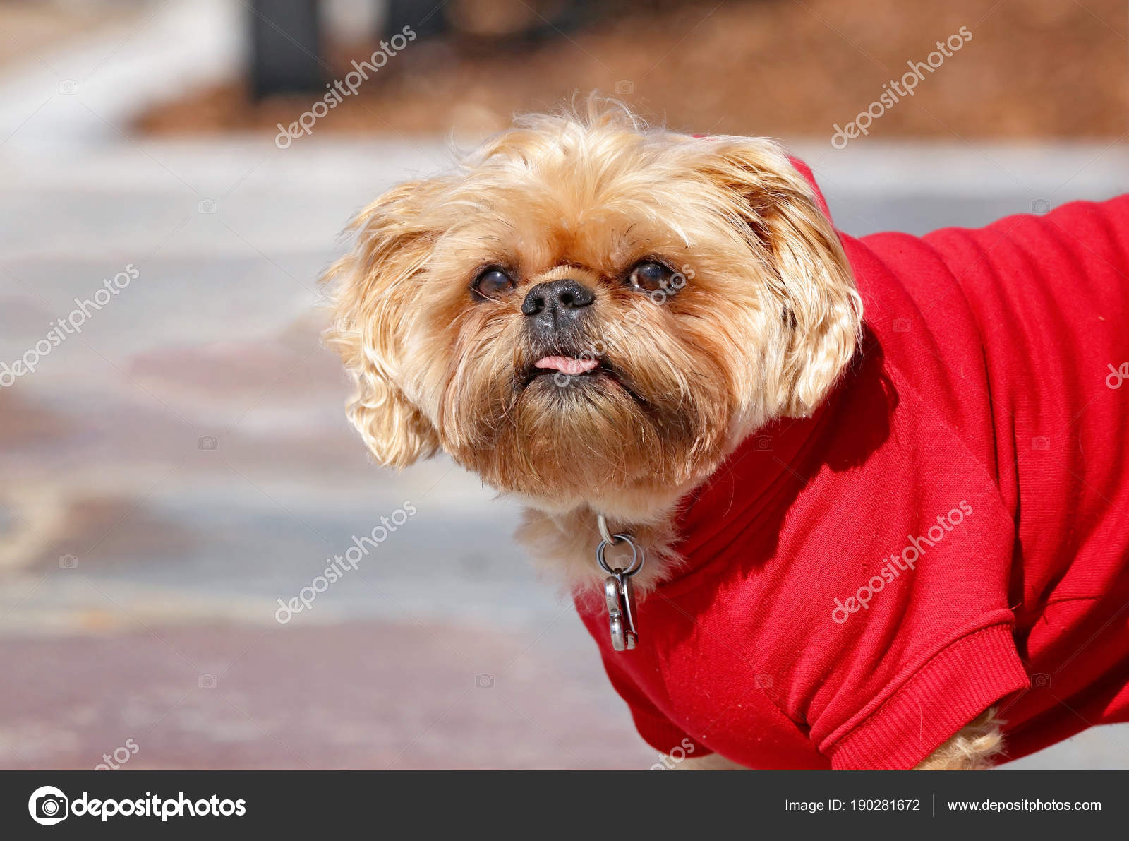Cute Shih Tzu Terrier Mix With A Red Sweatshirt On Stock Photo