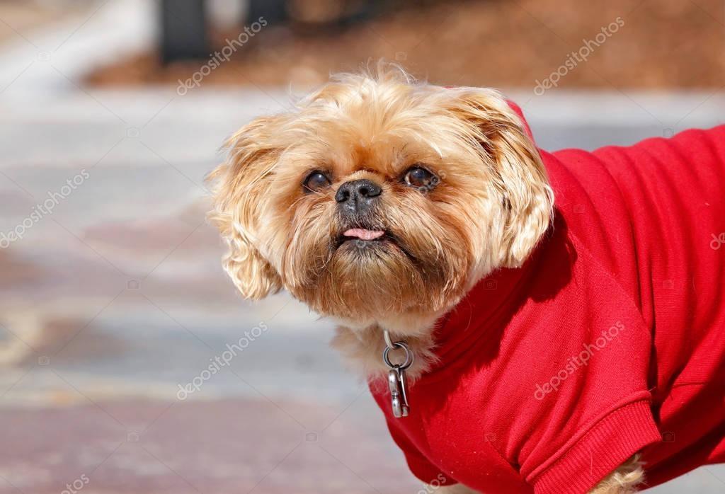 Süße Shih Tzu Terrier Mix Mit Ein Rotes Sweatshirt Auf Stockfoto