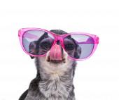 Aranyos chihuahua rózsaszín napszemüveget visel elszigetelt fehér háton
