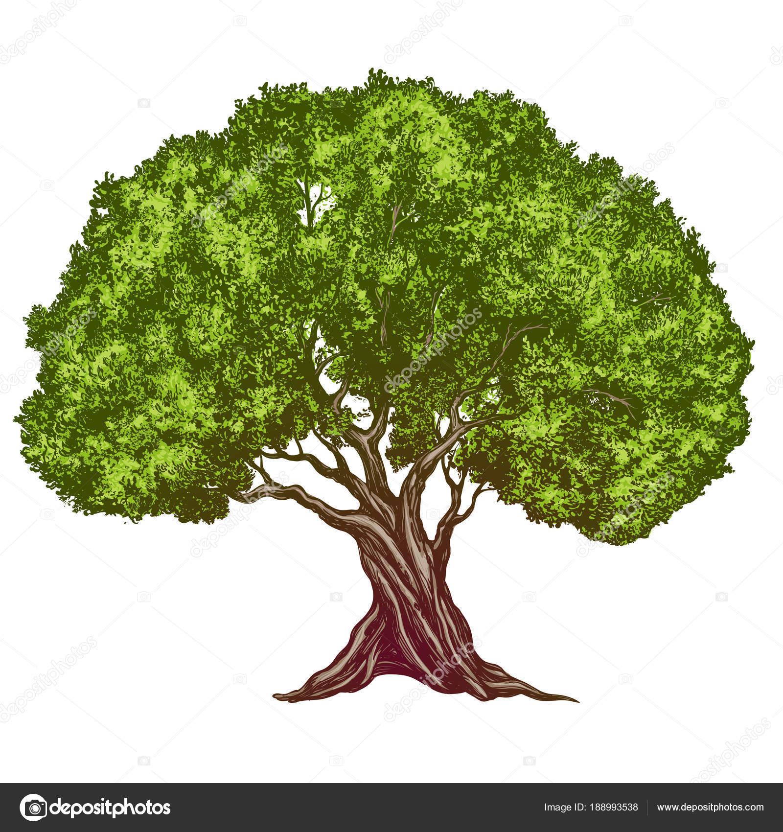 Dibujos Arboles A Color Dibujo Realista Color De Aceituna árbol