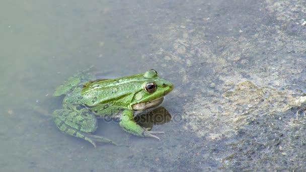 Frosch im Wasser. FHD-video