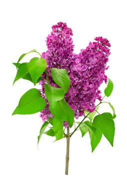 Branch lilac isolated on white