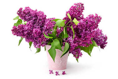 Several branches of a lilac in bucket isolated on white.