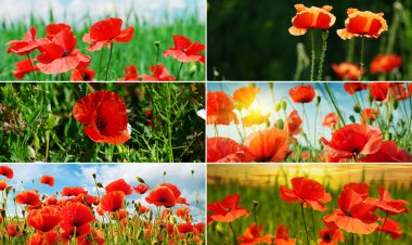 Collection panoramic photos blossoming red poppies. stock vector