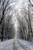 Szép havas úton. Gyönyörű magas fák hó és fr