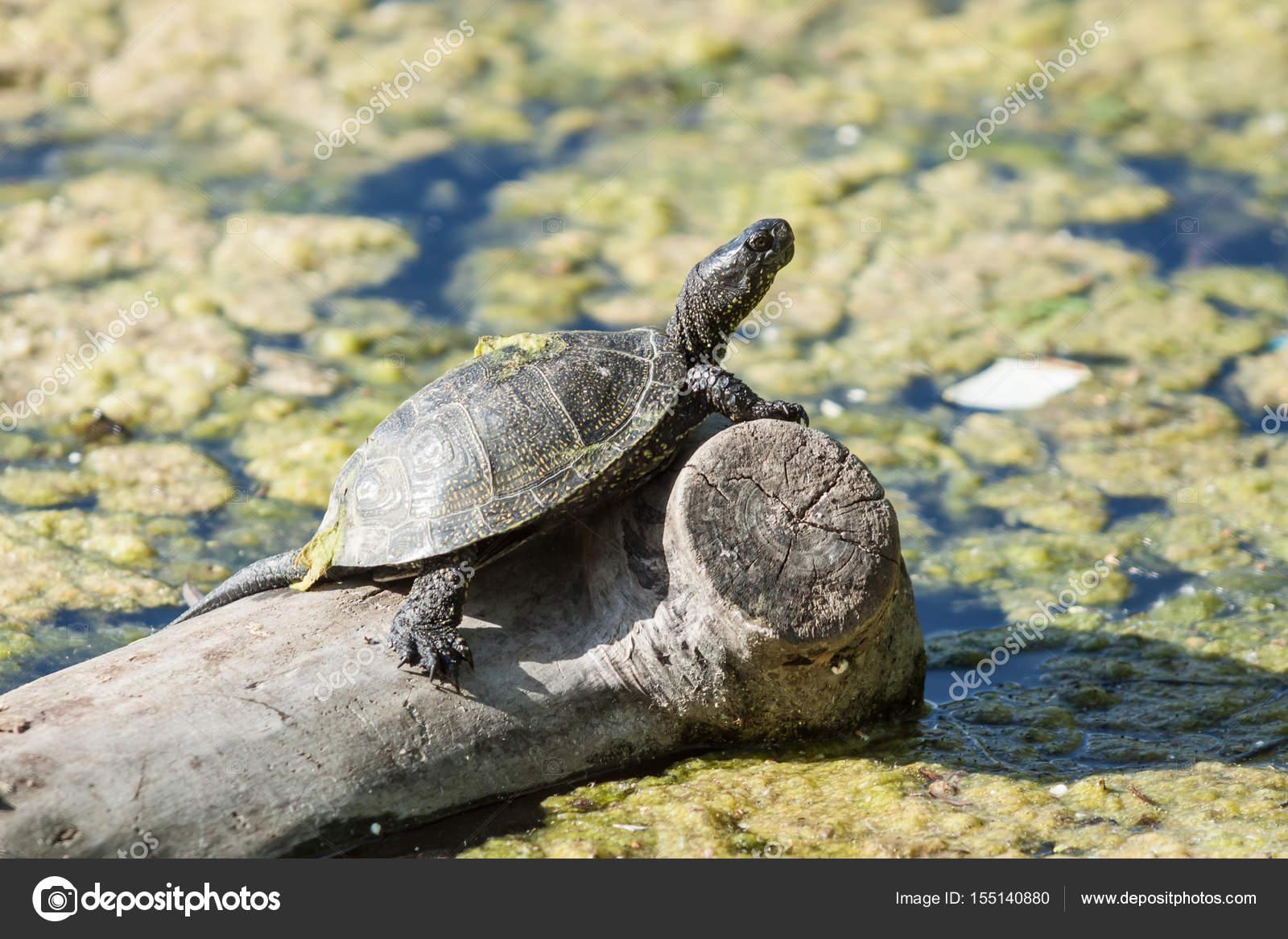 Tartaruga d 39 acqua dolce al sole foto stock alex for Lago tartarughe