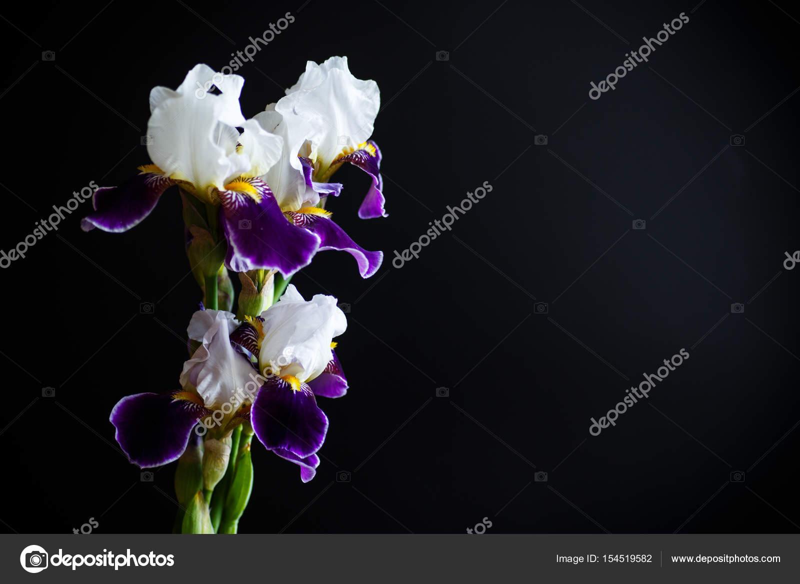 Iris Flower White With Purple Petals Stock Photo Rawlik 154519582