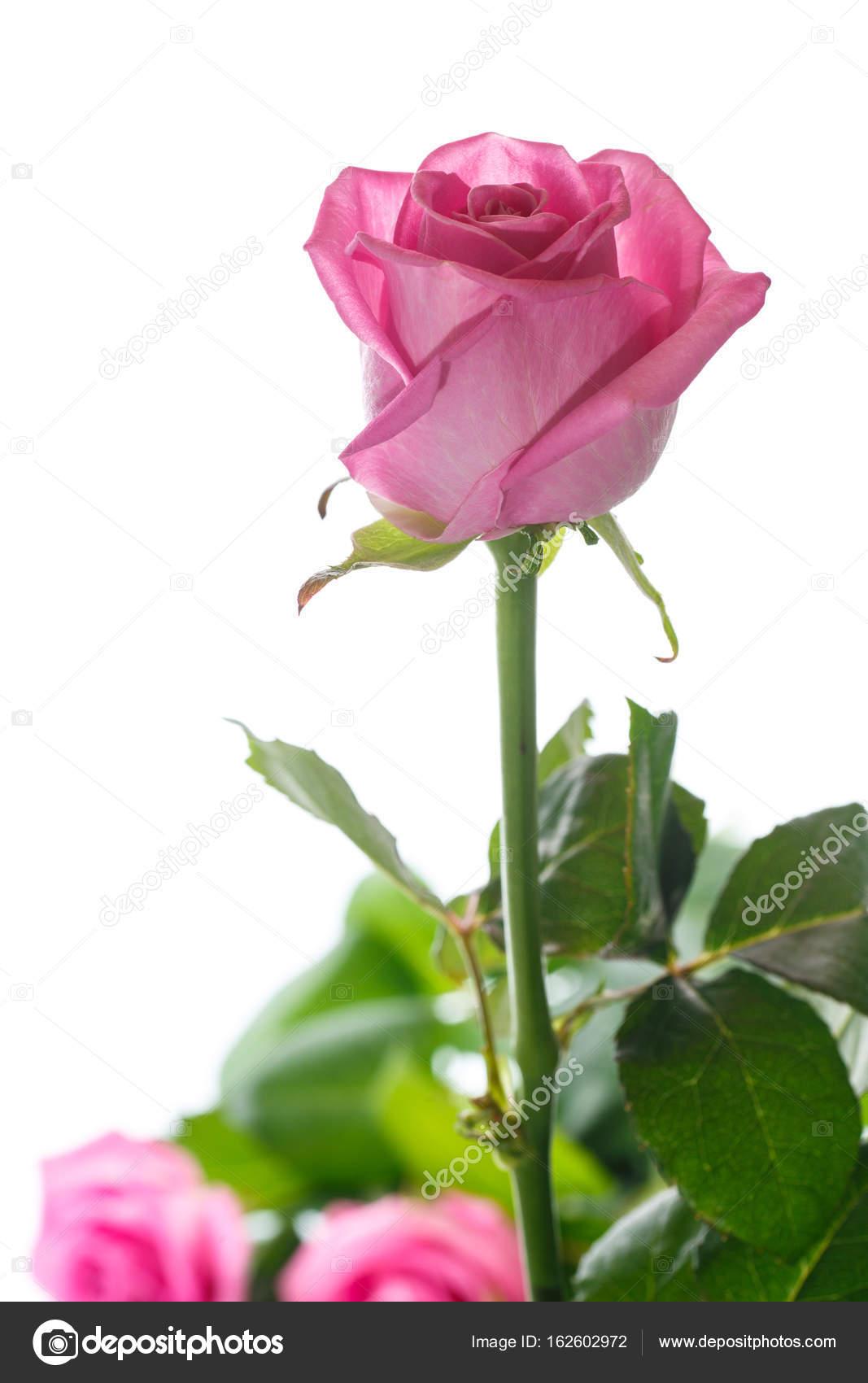 bella rosa rosa foto stock rawlik 162602972. Black Bedroom Furniture Sets. Home Design Ideas
