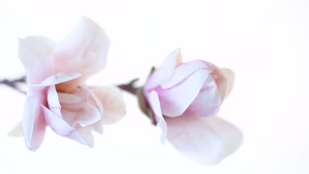 schöne rosa Magnolienblüte