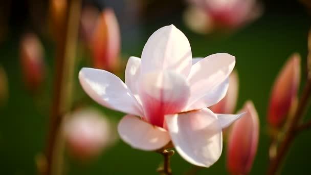 Krásné růžové magnólie květ