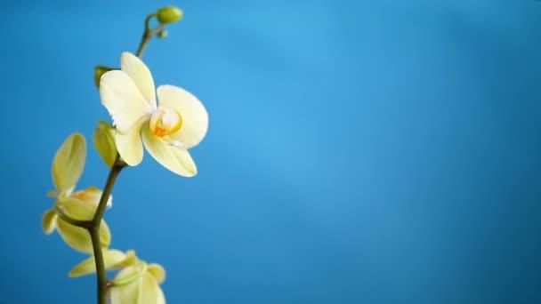 Gelbe Orchidee phalaenopsis Blume auf blauem Hintergrund