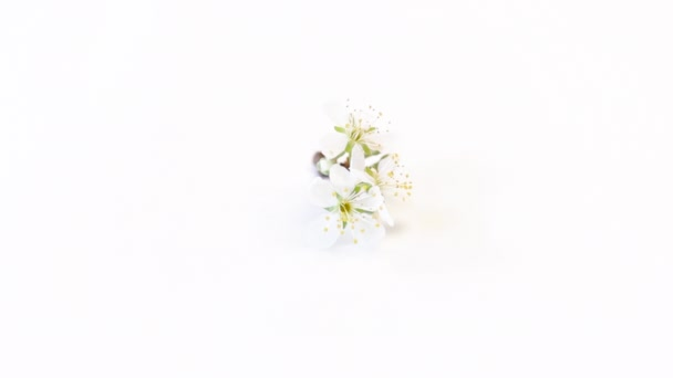 větev se švestkovými květy izolované na bílém pozadí