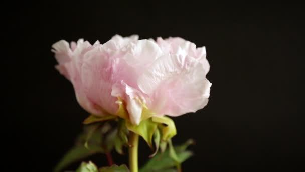 kvetoucí růžový strom pivoňka květina na černém pozadí