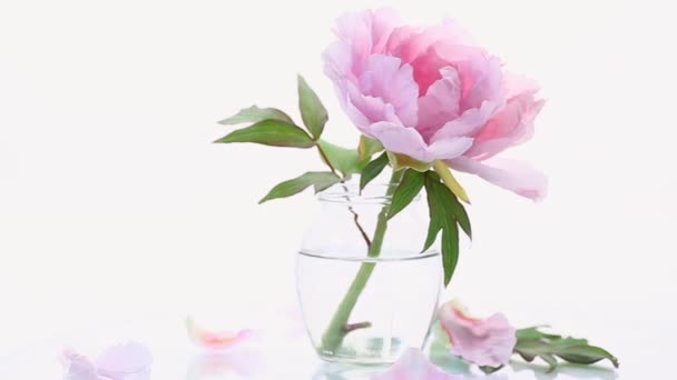 blooming pink tree peony flower on white background