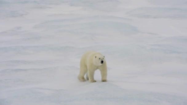 Séta a tengeri jég jegesmedve