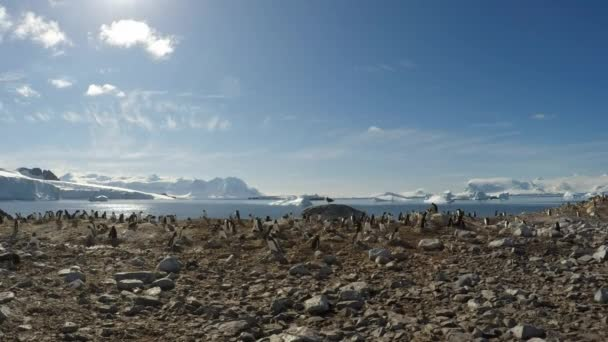 Chinstrap penguins on the nest timelaps