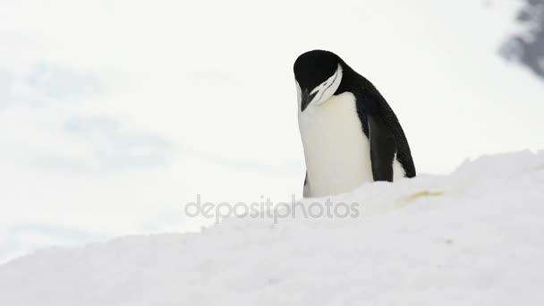 Tučňák uzdičkový na sněhu